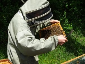 l'apiculteur examine un cadre de ruche plein d'abeilles