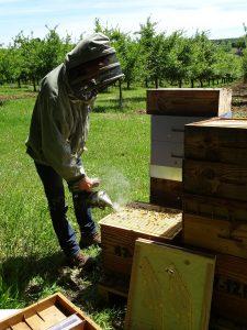 l'apiculteur enfume une ruche avec son enfumoir, dans un paysage de vergers de pruniers dans le lot-et-garonne