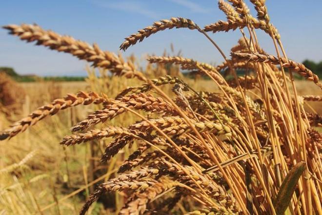 blés anciens et paysans mûrs pour faire du bon pain au levain